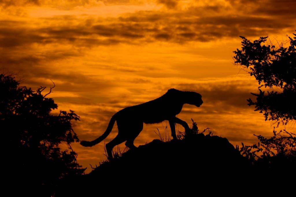Cheetah searching